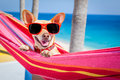 Dog summer hammock chihuahua relaxing on a fancy red with sunglasses in vacation holidays at the beach under the palm tree Stock Photography