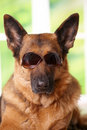 Dog with sunglasses Stock Photography