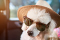 Dog in sunglasses with hat Royalty Free Stock Photo