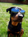 Dog with Sunglasses InDognito Stock Photos