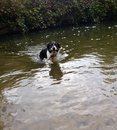 Dog swimming in river border collie back after fetching stick from Royalty Free Stock Image