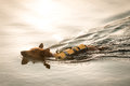 Dog swimming small wearing a flotation jacket at sunset Stock Photo