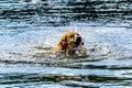 Dog swimming in Stake Lake near Kamloops British Columbia, Canada Royalty Free Stock Photo