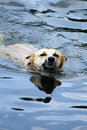 Dog is swimming in the water Stock Images