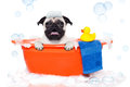 Dog taking a bath pug in bathtub not so amused about that with yellow plastic duck and towel covered in foam on white background Royalty Free Stock Photo