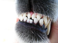 Dog teeth (6) Stock Photos