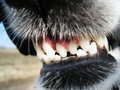 Dog teeth very dangerous looking Stock Image