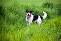 Dog in th egrass jack russell on a green grass meadow Stock Image