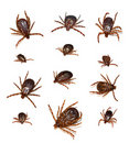 Dog Ticks Royalty Free Stock Photos