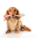 Dog toothbrush Royalty Free Stock Photo