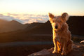 Dog on top of the world a small sits perched a ledge at haleakala crater maui hawaii Stock Photography