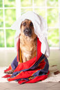 Dog in towel Royalty Free Stock Photos