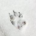 Dog Track, Footprint On Snow Royalty Free Stock Photo