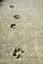 Dog tracks in Concrete Stock Photos