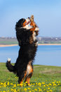 Dog trained to perform tricks beautiful bernese mountain do Stock Images