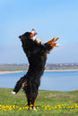 Dog trained to perform tricks beautiful bernese mountain do Royalty Free Stock Photos