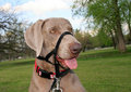 Dog with Training Collar Royalty Free Stock Image