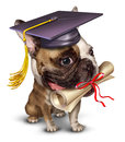 Dog training pet school concept with a bull wearing a graduation holding a diploma in his mouth as a symbol of animal Stock Images