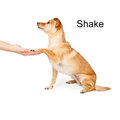 Dog Training Shake Command Royalty Free Stock Photo