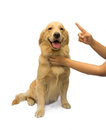 Dog training women hand trying to golden retriever isolated in white background with clipping path Royalty Free Stock Photo