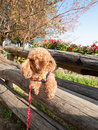 Dog travel in nature poodle Stock Photo