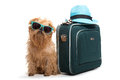 Dog traveler ready for vacation on white background Stock Photography