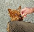 Dog treat for pet Royalty Free Stock Photo