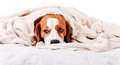 Dog under a blanket on white very much sick isolated Royalty Free Stock Images