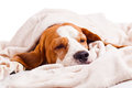 Dog under a blanket on white very much sick isolated Stock Photo