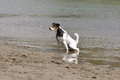 Dog urinating in the river Royalty Free Stock Photo