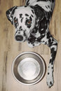 Dog is very hungry -- he is laying next to the bowl Royalty Free Stock Photo