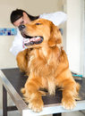 Dog at the vet and a doctor checking his tempreature from behind Royalty Free Stock Photo