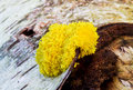 Dog vomit slime mold fuligo septica on a dead birch tree Stock Photos