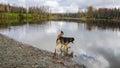 Dog Wading in University Lake Anchorage Alaska Royalty Free Stock Photo