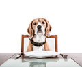 Dog waiting for a dinner on the served table Royalty Free Stock Photo