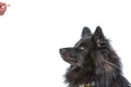 Dog waiting for a treat finnish lapphund Royalty Free Stock Photography