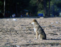 Dog waits on the sand Stock Photos