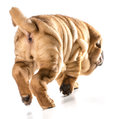 Dog walking away chinese shar pei from viewer isolated on white background months old Stock Photos