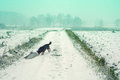 Dog walking on the field cowered with snow Royalty Free Stock Photo