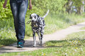 Dog walking with the owner Royalty Free Stock Photo