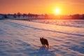 Dog Walking In The Snowy Field