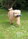 Dog wanting a brush happy wheaten terrier running with its in its mouth Royalty Free Stock Images