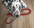 Dog wants to walk and wait near leash Royalty Free Stock Photo