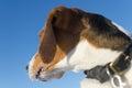 Dog watch back. Beagle head close up on blue background Royalty Free Stock Photo