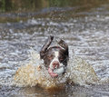 Dog in water with ball splashing mouth Stock Image