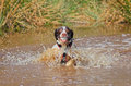 Dog in water with ball splashing mouth Stock Images