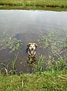 Dog in water brown black Royalty Free Stock Images