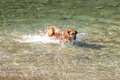 Dog in the water large playing sea Royalty Free Stock Image