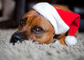 Dog wearing christmas hat pet staffordshire bullterrier a Stock Image