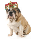 Dog wearing crown english bulldog king s sitting looking at viewer isolated on white background Stock Image